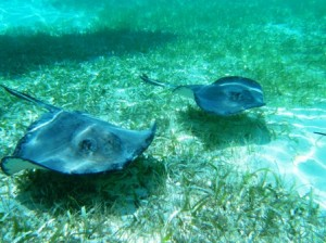 Southern Sting Rays