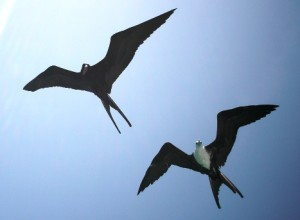 Friget Birds Caye Caulker
