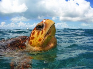 Turtle breath of air at Hol Chan Marine Reserve
