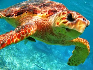 sea turtles of Belize