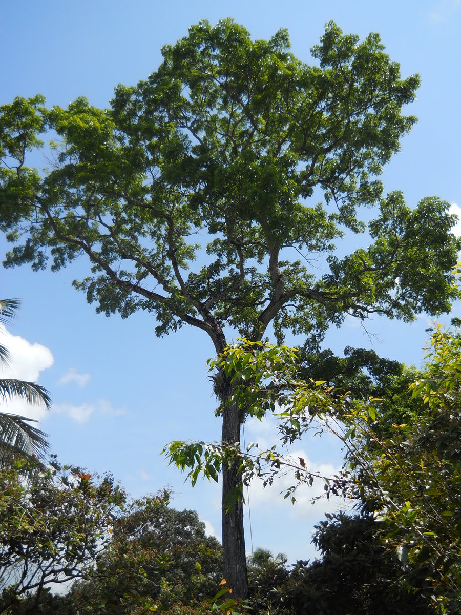 Photos of mahogany tree Raw Lands, Agricultural Lands Tree Farms For Sale